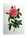 Rosa Gallica Regallis Giclee Print by Pierre-Joseph Redouté