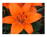 Orange Lily I Photographic Print by Melodi Claire