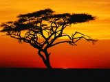 Acacia Tree at Sunset Photographic Print by Jeremy Woodhouse
