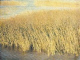 Beach Grass Photographic Print by Jennifer Kennard
