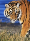 Bengal Tiger Photographic Print by W. Perry Conway