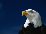 American Bald Eagle Photographic Print by Joseph Sohm
