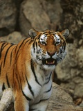Bengal Tiger Snarling Photographic Print by Chase Swift