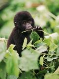 Baby Mountain Gorilla Feeding Fotografisk tryk af Joe McDonald