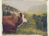 Alpine Cow Photographic Print by Jennifer Kennard