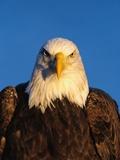 Weißkopfseeadler Fotodruck von Jeff Vanuga