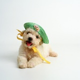 Bichon Frise Puppy Wearing Bonnet Photographic Print by Pat Doyle
