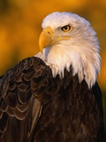 Bald Eagle Photographic Print by W. Perry Conway