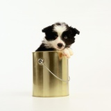 Border Collie Puppy Sitting in Paint Can Photographic Print by Pat Doyle