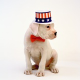 Boxer Puppy Wearing Patriotic Hat Photographic Print by Pat Doyle