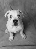 Bulldog Puppy Looking up Sadly Photographic Print by Lawrence Manning