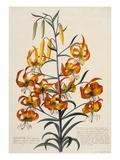 Botanical Print of American Turkscap Lily Giclee Print by Johann Wilhelm Weinmann