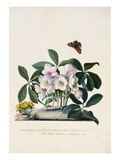 Christmas Rose and Winter Aconite Giclee Print by Johann Wilhelm Weinmann
