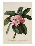 Frangipani – botanischer Druck Giclée-Druck von Johann Wilhelm Weinmann