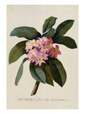 Stampa botanica di frangipane Stampa giclée di Weinmann, Johann Wilhelm
