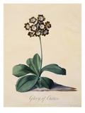 Botanical Print of Glory of Chilton Giclée-Druck von Johann Wilhelm Weinmann