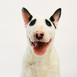 Bull Terrier Photographic Print by Pat Doyle