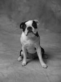 Bulldog Photographic Print by Lawrence Manning