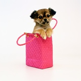 Chihuahua Puppy in Pink Purse Photographic Print by Pat Doyle