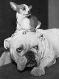 Chihuahua Seated on a Bulldog Photographic Print by  Bettmann