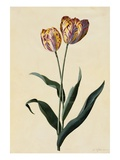 Botanical Print of Tulip Giclée-Druck von Johann Wilhelm Weinmann