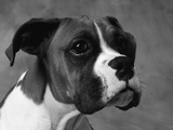 Boxer Puppy Photographic Print by Lawrence Manning