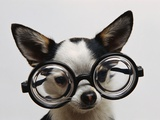 Chihuahua Wearing Eyeglasses Photographic Print