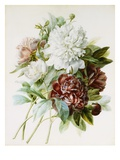 Bouquet of Red, White, and Pink Peonies Giclee Print by Pierre Joseph Redoute