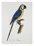 Blue and Gold Macaw Giclee Print by Jacques Barraband
