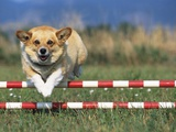 Corgi Jumping over Obstacle at Dog Agility Competition Photographic Print by Chase Swift