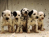 Dalmatian Puppies Photographic Print by Dennis Degnan