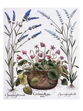 Cyclamen and Lavender Engraving by Georg Dionysius Ehret, from The Hortus Eystettensis Giclee Print by Basilius Besler