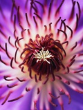 Detail of Clematis Flower Photographic Print by Darrell Gulin