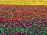 Colorful Tulip Field Photographic Print by Cindy Kassab