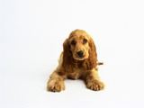 Cocker Spaniel Puppy Photographic Print by Pat Doyle