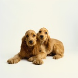Pair of Cocker Spaniel Puppies Photographic Print by Pat Doyle