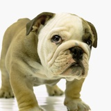 English Bulldog Puppy Photographic Print by Pat Doyle
