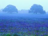 Darrell Gulin - Field of Bluebonnets - Fotografik Baskı