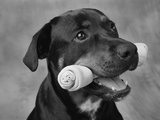 Dog Holding Bone in Mouth Photographic Print by Lawrence Manning