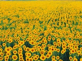Field of Sunflowers Photographic Print by Darrell Gulin