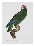 Female Puerto Rican Parrot Premium Giclee Print by Jacques Barraband