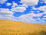 Fields of Wheat Photographic Print by Darrell Gulin