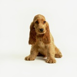 English Cocker Spaniel Puppy Photographic Print by Pat Doyle