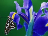 Fritillary Butterfly on a Dutch Iris Photographic Print by Darrell Gulin