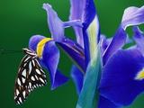 Fritillary Butterfly on a Dutch Iris Photographic Print by Darrell Gulin