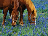 Horses Grazing Among Bluebonnets Photographic Print by Darrell Gulin