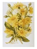 Illustration Depicting Arnica Montana Plants Giclee Print by  Bettmann