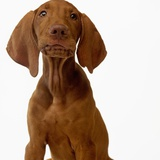 Hungarian Vizsla Puppy Photographic Print by Pat Doyle