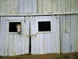 Horse Peering Through Barn Door Photographic Print by Kevin R. Morris