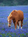Horse Standing Among Bluebonnets Photographic Print by Darrell Gulin